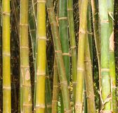 Bambúes Fotos de archivo