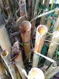 bambúes Imagen de archivo