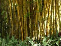 Bambúes que crecen libremente Imagen de archivo libre de regalías