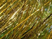 Bambúes que crecen libremente Plantas flexibles árboles Imagen de archivo libre de regalías