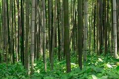 Bamb? pi? forrest Fotografia Stock