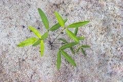 Bambarra Groundnut Stock Photo