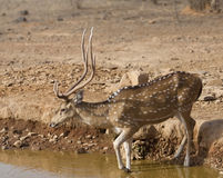 bambi印地安人 库存照片