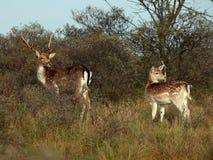 bambi森林 图库摄影
