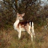 bambi森林 免版税库存照片