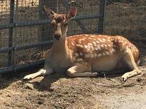 Bambi鹿 免版税库存照片