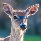 Bambi оленей белого кабеля Стоковые Фотографии RF