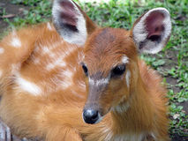 bambi Royaltyfri Fotografi