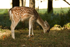 Bambi fotografie stock libere da diritti