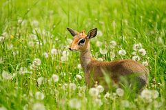 Bambi. Little deer in the wild nature. Summer day, grass, greens and dandelions flower Royalty Free Stock Images