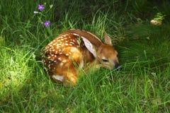 Bambi Royaltyfria Bilder