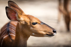 Bambi 免版税库存图片