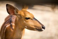 Bambi画象 免版税库存照片