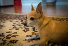 Bambi The Chihuahua Fotografering för Bildbyråer