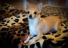 Bambi The Chihuahua Royaltyfri Fotografi
