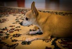 Bambi The Chihuahua Arkivfoton