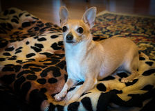 Bambi The Chihuahua. Chihuahua In Lion Pose on blanket Royalty Free Stock Photo