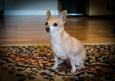 Bambi The Chihuahua. Chihuahua Sitting Patiently For Dinner Royalty Free Stock Images