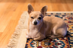 Bambi The Chihuahua. Sleepy Chihuahua Dog On The Rug Royalty Free Stock Photo