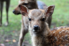 Bambi. Cute Bambi in a wildpark Royalty Free Stock Photos