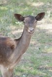 Bambi dans le sauvage Photos libres de droits