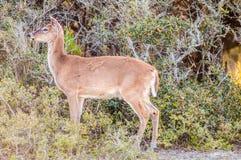 Bambi de cerfs communs de queue blanche photographie stock libre de droits