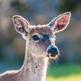 Bambi de cerfs communs de queue blanche photographie stock
