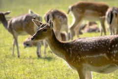 Bambi / deer in the forest. Big deer herd in the forest Stock Images