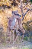 Bambi dei cervi della coda bianca Fotografie Stock