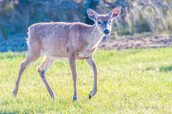 Bambi dei cervi della coda bianca Immagini Stock Libere da Diritti