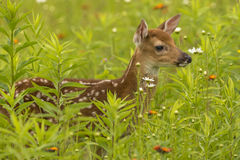Bambi In Flowers. A white-tailed deer fawn in a field of wildflowers Royalty Free Stock Images