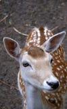 Bambi hjortar Arkivbild