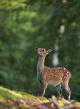 Bambi image of a young deer. Bambi image of a cute young deer looking up in a forest clearance Royalty Free Stock Image