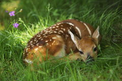 Bambi Stock Photo