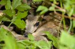 Bambi Stock Image