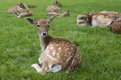 Bambi on meadow. Bambi with other fallow deers Stock Images