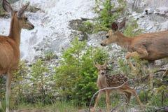Bambi med föräldrar på den Yellowstone nationalparken Arkivfoto