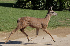 Bambi. Odocoileus hemionus californicus Mule deer fawn running with all four feet off of  the ground Royalty Free Stock Photos
