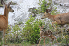 Bambi with parents at Yellowstone National Park. Little Bambi deer with parents at Yellowstone National Park Stock Photo