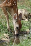Bambi Reflections stock photography