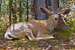 Bambi Relaxing in the Kaibab Forest Stock Image