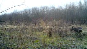 Bambi Roe deer, Capreolus capreolus, in a wood in winter. Wildlife Full HD Video