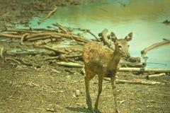 Bambi Rotwild Stockfotos