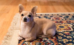 Bambi On Rug. Deer Head Chihuahua on Rug Stock Images