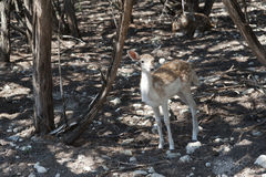 Bambi sur le bord de forêt Photo libre de droits