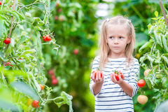 Bambina adorabile con i raccolti dei pomodori in serra Stagione delle verdure di maturazione in serre Fotografia Stock Libera da Diritti