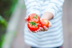 Bambina adorabile con i raccolti dei pomodori in serra Stagione delle verdure di maturazione in serre Fotografie Stock Libere da Diritti