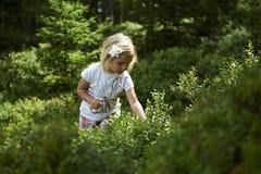 Bambina bionda del bambino che seleziona le bacche fresche sul giacimento del mirtillo in foresta Fotografia Stock