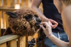 Bambina che alimenta una bella lama Immagini Stock