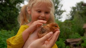 Bambina che segna un piccolo pollo stock footage